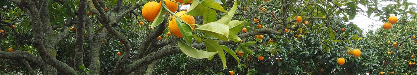 Traitement des orangeraies avec un engrais naturel