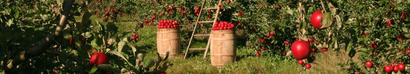 Traitement contre les ravageurs des pommiers avec des engrais naturels