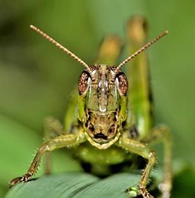 Traitement des insectes avec de la terre de diatomées naturelle.