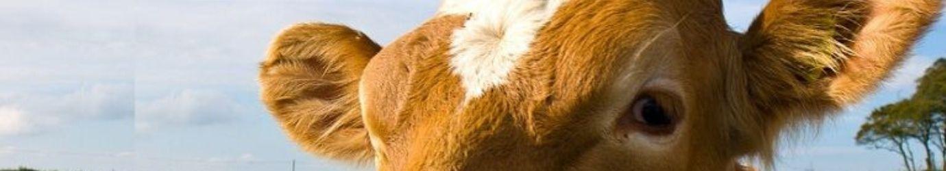 Vache à laquelle nous appliquons de la terre de diatomées.