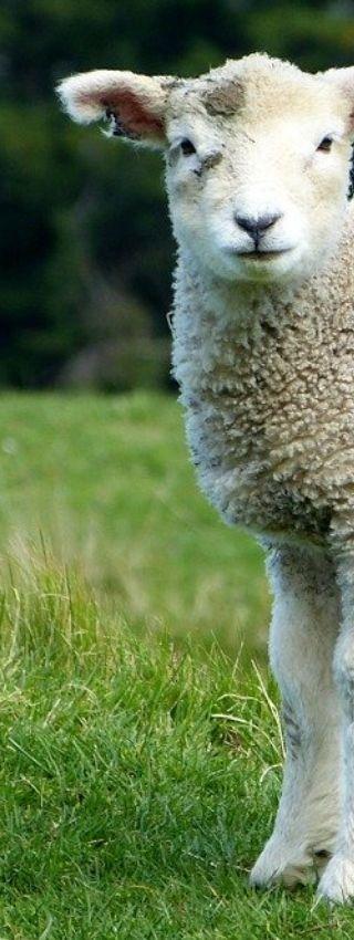 Moutons vermifugés à la terre de diatomées.