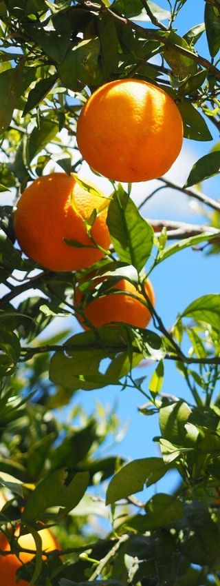 Application d'engrais naturel dans la culture d'arbres fruitiers tels que les orangers.