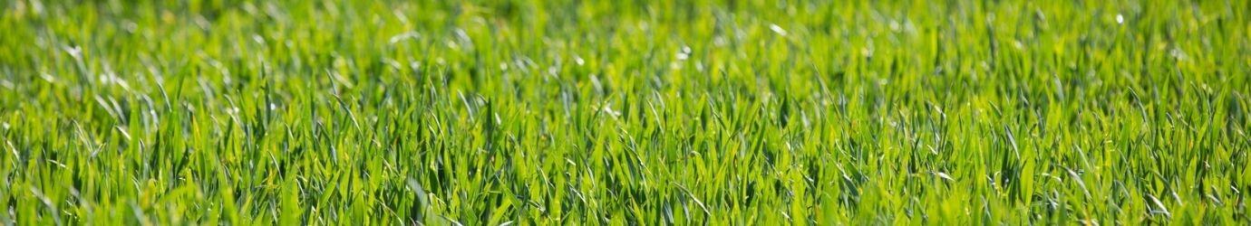 Application d'engrais naturel pour la pelouse traitée avec de la terre de diatomées.