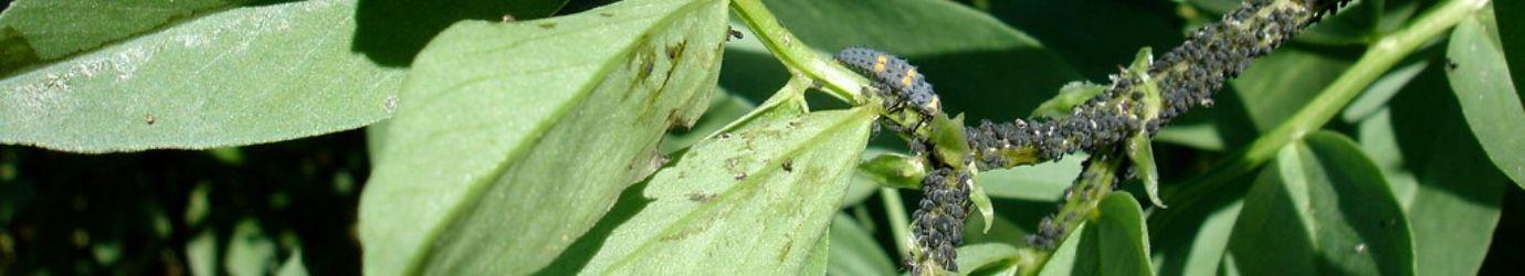 Plante avant le traitemente avec de la terre de diatomées.