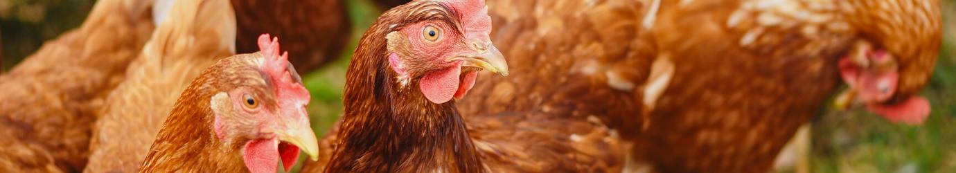 Vermifugation interne et externe des poulets et des coqs.