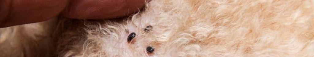 Traitement à la terre de diatomées pour les tiques du chien.