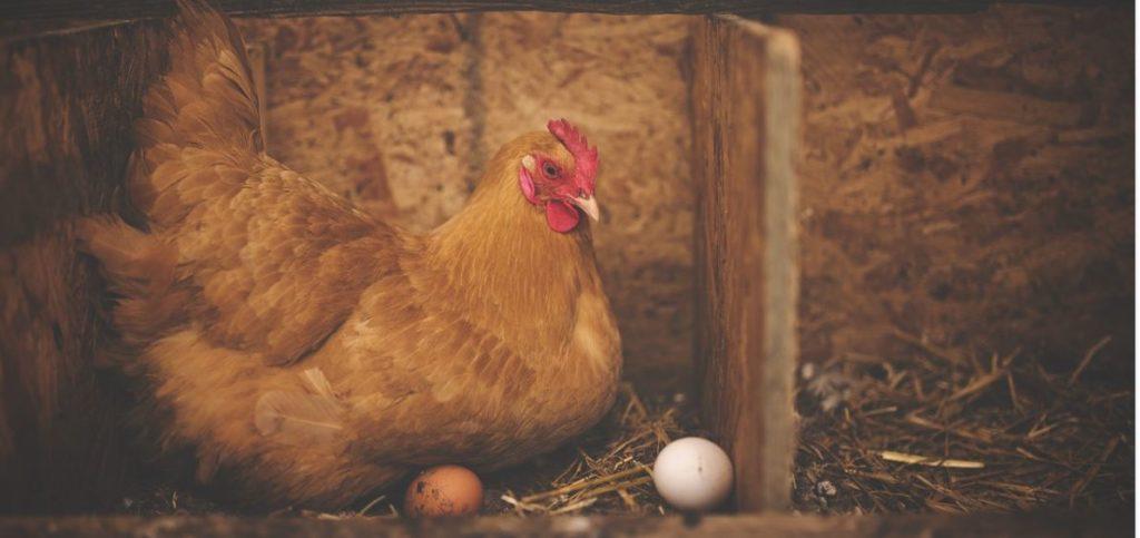 poule qui couve ses œufs