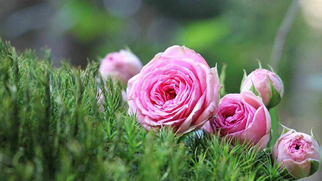 Pucerons dans les roses.