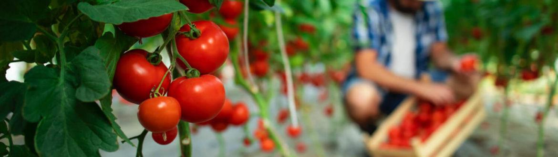Terre de Diatomées Pour les Tomates
