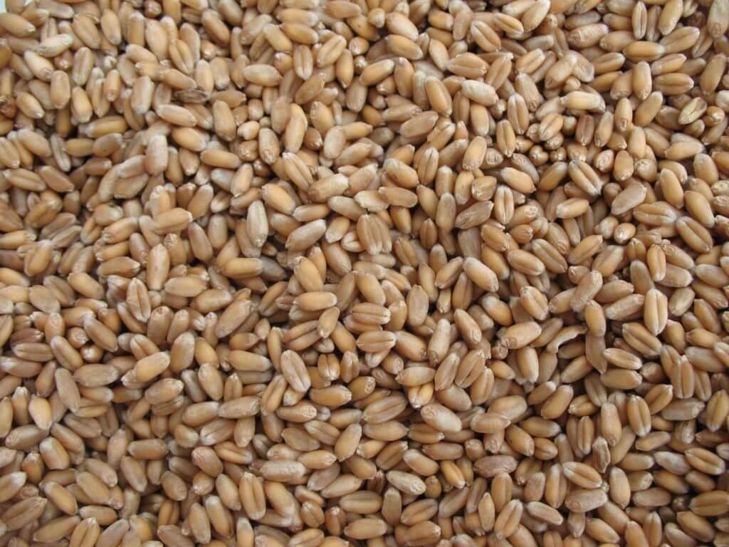 Graines du blé.