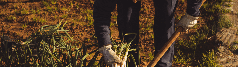 Vue d'un verger de ciboulette : plante à croissance rapide