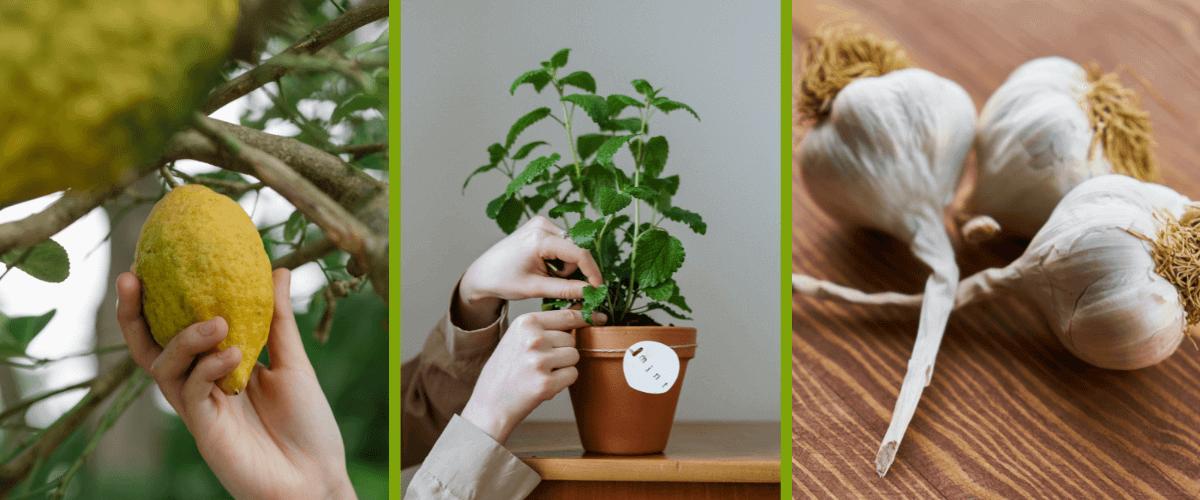 plantes-de-type-citron-menthe-ail-croissance rapide